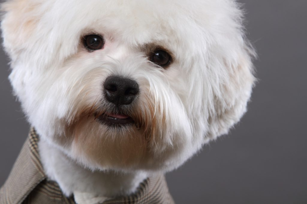 cute terrier head
